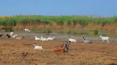 Herd Of Goats Resting At Nature Stock Footage