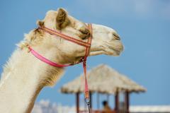 Head of a camel Stock Photos