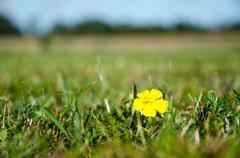 Single yellow flower in green grass Stock Photos