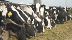 Wide shot of Holstein Cows Eating Hay & Grain @ 240 fps Stock Footage