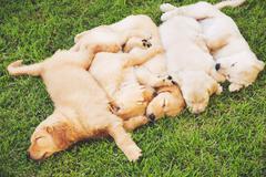 golden retriever puppies - stock photo