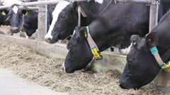 Cow eating mixed fodder and silage feeders Stock Footage