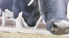 Cow sniffs near feeders Stock Footage