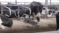cow with a huge udder itchy foot in the barn - stock footage