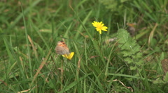 Small copper butterfly brittish wildlife insect on flower Stock Footage