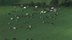 Cattle in English Farm timelapse aerial view herd Stock Footage