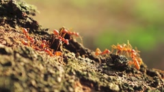 The red fire ants Stock Footage