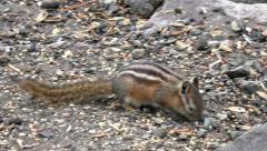 Chipmunk striped rodent eating close 4K 196 Stock Footage