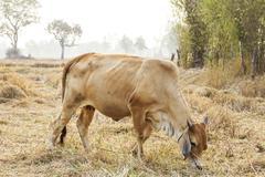cows graze in a field width - stock photo