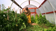 Woman bind high tomato bush to sticks in glasshouse Stock Footage