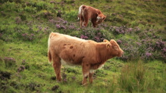 Highland cattle Stock Footage