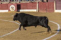 capture of the figure of a brave bull in a bullfight, spain - stock photo