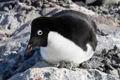 Adelie penguin sitting in a nest with her ??head turned Stock Photos