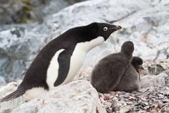 Female adelie penguins near the nest in which two chicks Stock Photos