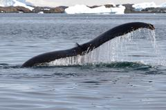 Humpback whale tail at an angle which dives into the waters of the antarctic Stock Photos