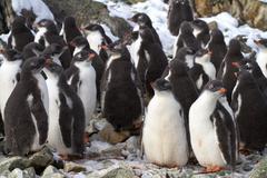 Kindergarten adelie penguin chicks have accumulated near the colony Stock Photos