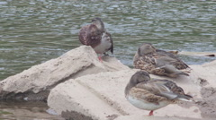 Duck family 4K [resting] Stock Footage