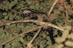 A close up of common palm civet at night time Stock Photos