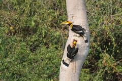 A couple of great hornbills searching for their nest Stock Photos