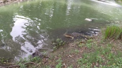 Clouded monitor still in water, Lumphini park, Bangkok Stock Footage