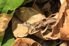 a close up of baby common butterfly lizard on the dried leaves - stock photo