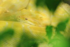 Tiger albino python snake, yellow viper Stock Photos