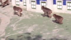 Japanese Snow Monkey Stock Footage