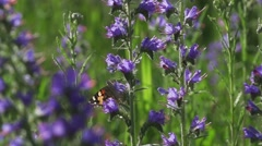 Butterfly flies from purple plant a meadow super slow motion Stock Footage