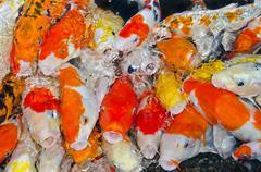 colorful many koi carps fish - stock photo