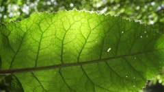 Big leaf lit by the sun and moving shadows Stock Footage