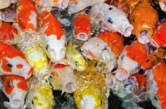 colorful many koi carp - stock photo
