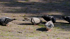 Pigeons in Amsterdam Stock Footage