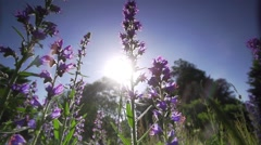 Beautiful purple herbs illuminated by the sun-slow motion Stock Footage