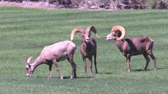 Desert Bighorn Sheep Rams - stock footage
