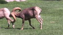 Desert Bighorn Sheep Ram in Rut Stock Footage