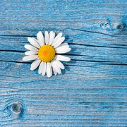 beautiful wild chamomile flower on blue wooden background. floral composition - stock photo
