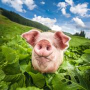 Cute pig grazing at summer meadow at mountains pasturage under blue sky. orga Stock Photos