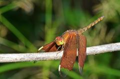 Russet dragonfly or neurothemis fulvia female Stock Photos