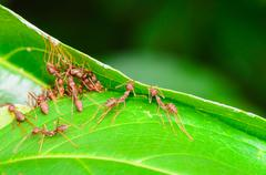 Weaver ants or green ants (oecophylla smaragdina) Stock Photos