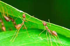 Weaver ants or green ants (oecophylla smaragdina) Stock Photos