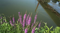 River with violet flowers on riverside and bridge reflected in water Stock Footage