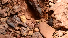 Lizard in the canyon Stock Footage
