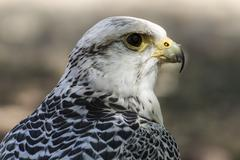 Carnivore, beautiful white falcon with black and gray plumage Stock Photos