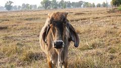 american brahman cow cattle closeup - stock photo