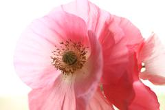 Shirley poppies closeup Stock Photos