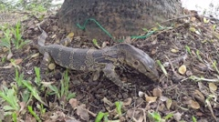 Clouded monitor lizard digs near base of tree, Lumphini park, Bangkok Stock Footage