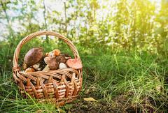 harvest brown cap boletus in a basket - stock photo