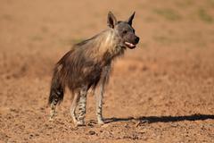 Brown hyena in Kalahari desert - stock photo