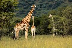 Giraffes in natural habitat Stock Photos