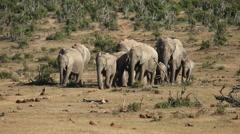 African elephant herd - stock footage